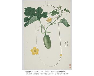 ロシア科学アカデミー図書館所蔵 川原慶賀の植物図譜