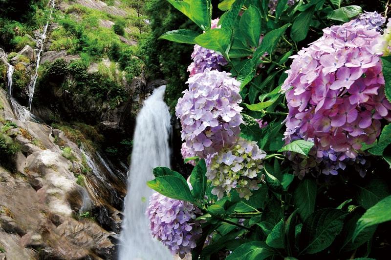 日本の滝百選にも選ばれた名瀑を彩る<br>幻想的なあじさいの競演