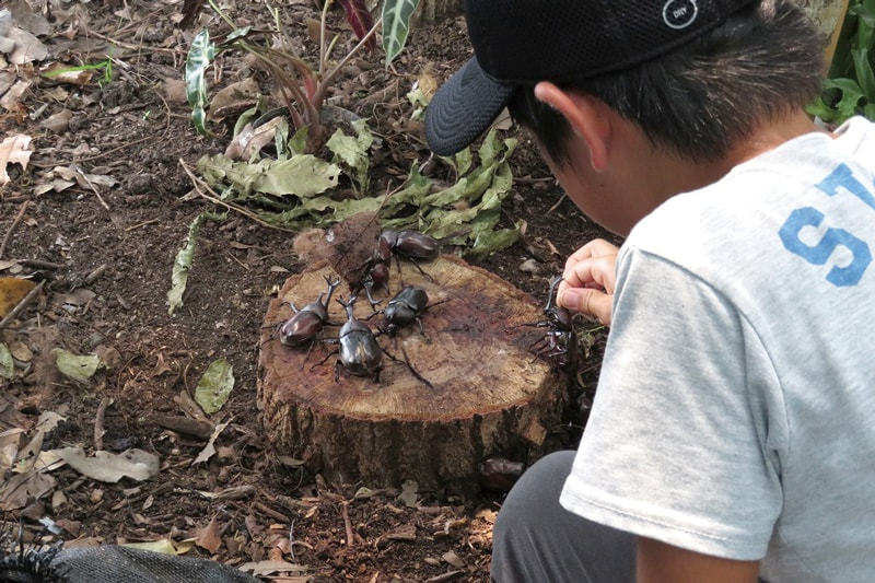 昆虫の王様・カブトムシを<br>見て、ふれて観察できる大チャンス!