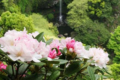裏見の滝自然花苑しゃくなげ祭り2019/4/1(月)~5/5(日・祝)