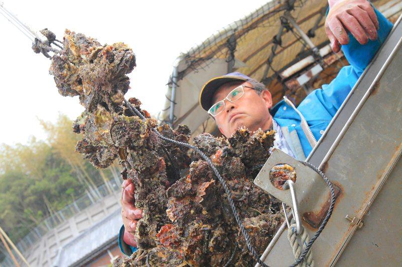 下連に付いた40枚のホタテ貝の一つには、約10個のカキが付着しているため選別を行う