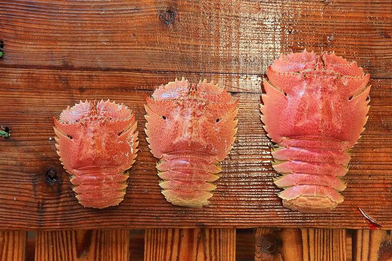 長崎県平戸産のうちわ海老 大中小の3サイズ