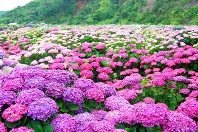 宮崎県 桃源郷岬の紫陽花