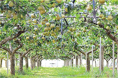 〈福岡県〉フルトリエ中村果樹園のフルーツ狩り 10月上旬頃まで